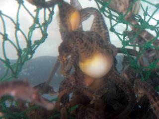 タツノオトシゴの画像 p1_8